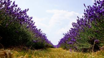 Lavender nature path purple flowers worms eye view wallpaper