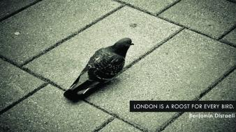 London birds pavement pigeons quotes wallpaper