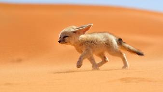 Morocco national geographic animals deserts fennec fox wallpaper