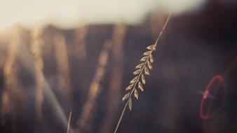 Nature macro depth of field spikelets sun flare Wallpaper