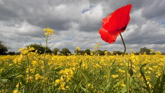Plains plants poppies wallpaper