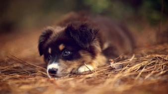 Animals australian shepherds dogs wallpaper