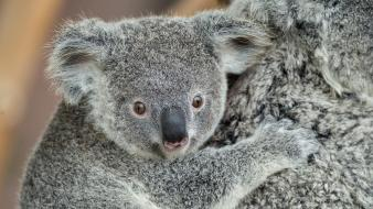 Animals koalas baby Wallpaper
