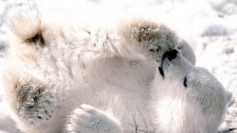 Animals wildlife predators polar bears wallpaper