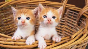 Baby animals baskets cats kittens wallpaper