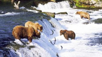 Bears waterfalls rivers salmon wallpaper