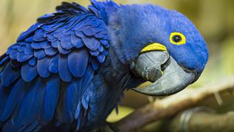 Birds parrots hyacinth macaw wallpaper