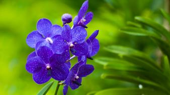 Blue orchids flower wallpaper