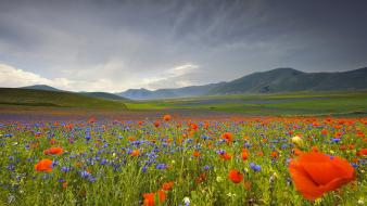 Close-up flowers meadows nature poppies wallpaper