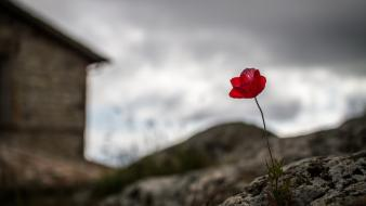 Depth of field red poppies blurred background wallpaper