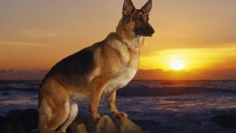 Ocean animals dogs german shepherd realistic wallpaper
