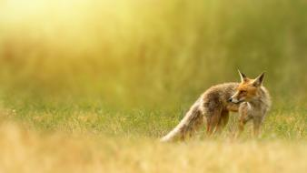 Red fox animal Wallpaper