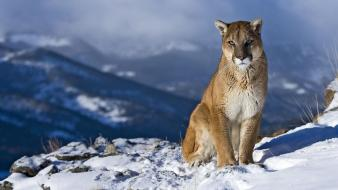 Winter snow animals wildlife puma upscaled Wallpaper