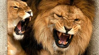 Animals teeth lions anger wallpaper