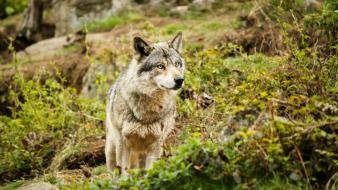 Animals wild wolves Wallpaper