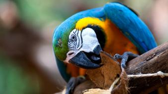 Blue-and-yellow macaws animals birds wallpaper