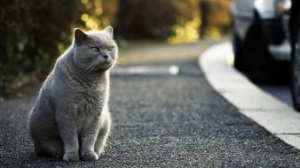 Cats animals roads pets british shorthair street wallpaper