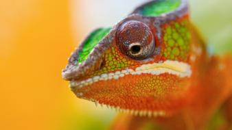 Chameleon eyes close up wallpaper