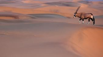 Namibia national geographic animals antelope dunes wallpaper