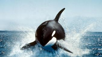 Orca whale wallpaper