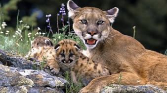 Puma baby animals Wallpaper