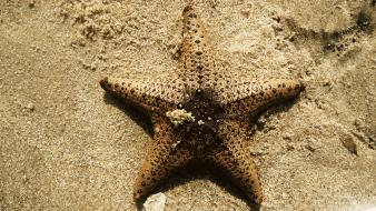 Sand fish starfish sri lanka beach Wallpaper