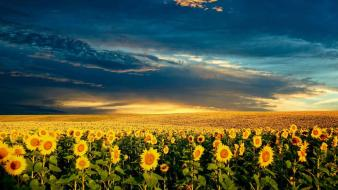 Sunflower field background Wallpaper
