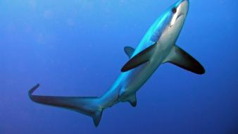 Thresher shark pictures wallpaper