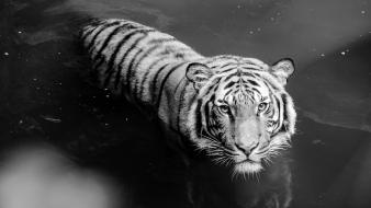 And white nature animals tigers tiger monochrome wallpaper