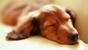 Animals dogs sleeping Wallpaper
