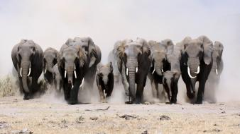 Animals dust elephants running racing wallpaper