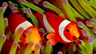 Cute clownfish Wallpaper