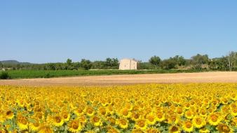 Fields flowers landscapes nature sunflowers wallpaper