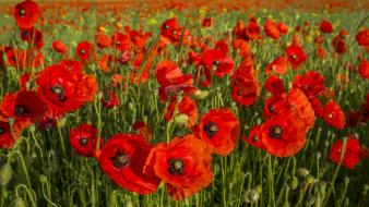 Flowers poppies red wallpaper
