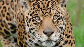 Jaguar animals close-up grass nature Wallpaper