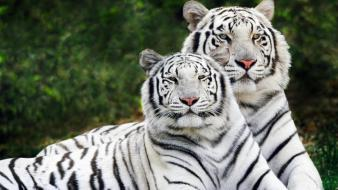 Nature animals tigers wallpaper