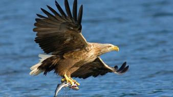 Nature bald eagle wallpaper
