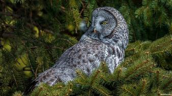 Nature birds owls wallpaper
