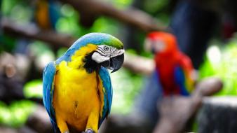 Parrots blurred background blue-and-yellow macaws Wallpaper