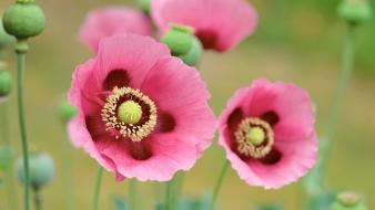 Poppies flowers wallpaper