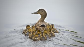 Water nature birds ducks duckling baby Wallpaper