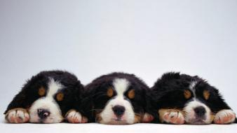 Animals dogs bernese mountain dog wallpaper
