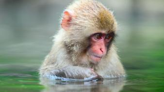 Bathing monkeys japanese macaque wallpaper