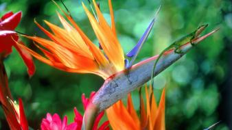 Flowers bird of paradise wallpaper