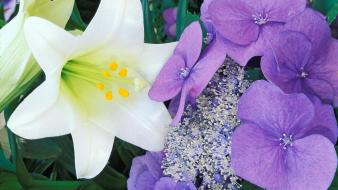 Flowers easter lilies hydrangeas Wallpaper