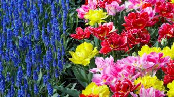 Flowers garden tulips holland hyacinths Wallpaper