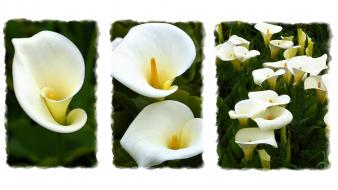 Flowers lilies calla wallpaper