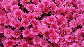 Flowers magenta chrysanthemums wallpaper