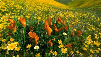 Flowers valley meadows yellow peaceful poppies wallpaper