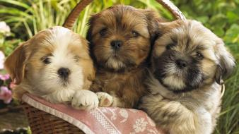 Animals baskets dogs domestic dog pets wallpaper